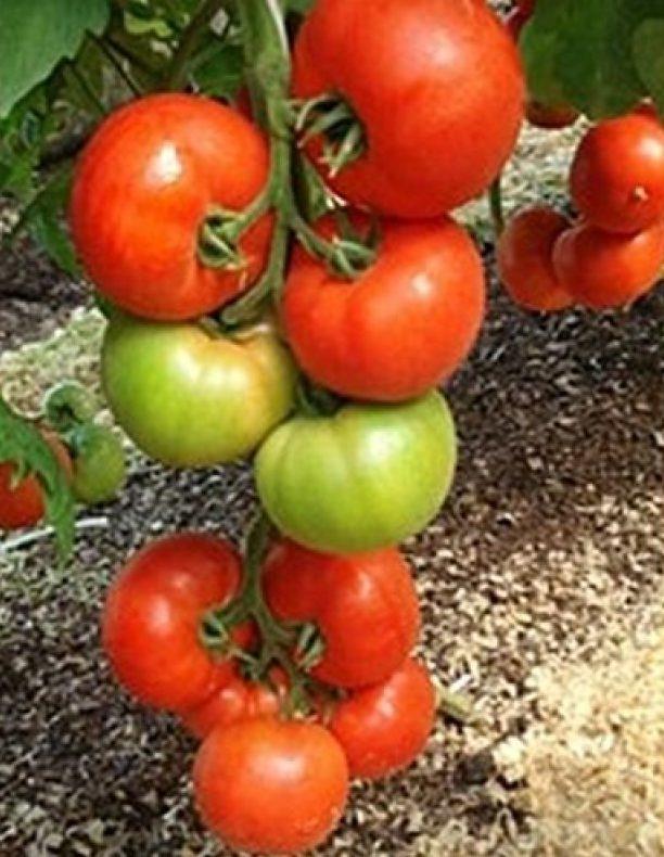 Лучшие сорта помидор для Подмосковья. Описание и отзывы сортов для теплицы и открытого грунта этап 6