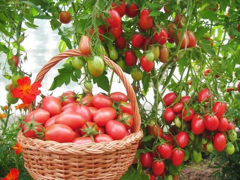 Лучшие сорта помидор для Подмосковья. Описание и отзывы сортов для теплицы и открытого грунта этап 17
