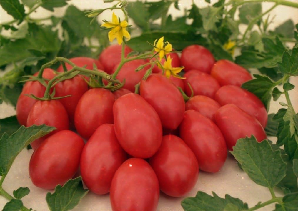 Лучшие сорта помидор для Подмосковья. Описание и отзывы сортов для теплицы и открытого грунта этап 19