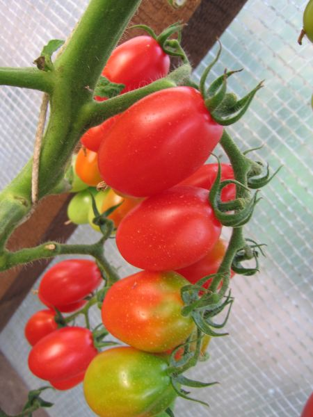 Лучшие сорта помидор для Подмосковья. Описание и отзывы сортов для теплицы и открытого грунта этап 10
