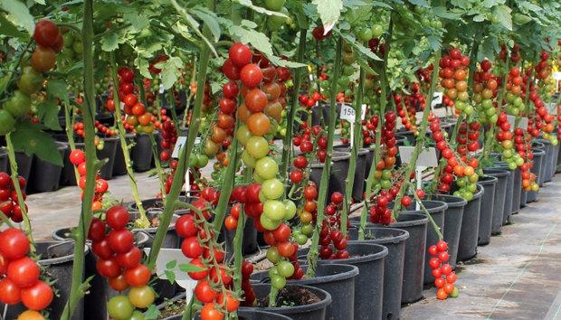 Лучшие сорта помидор для Подмосковья. Описание и отзывы сортов для теплицы и открытого грунта этап 30