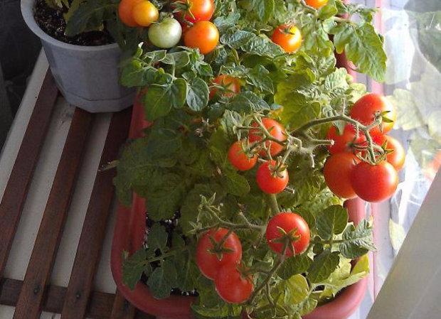 Лучшие сорта помидор для Подмосковья. Описание и отзывы сортов для теплицы и открытого грунта этап 32