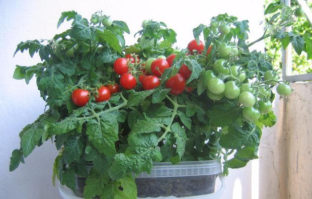 Лучшие сорта помидор для Подмосковья. Описание и отзывы сортов для теплицы и открытого грунта этап 33