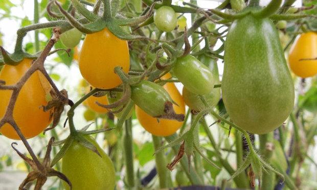 Лучшие сорта помидор для Подмосковья. Описание и отзывы сортов для теплицы и открытого грунта этап 29