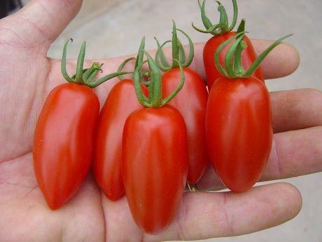 Лучшие сорта помидор для Подмосковья. Описание и отзывы сортов для теплицы и открытого грунта этап 18