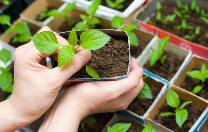 Когда сажать перец на рассаду в 2019 году? Посадка и уход за перцем по лунному календарю