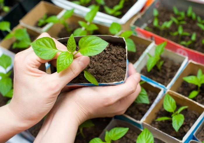 Как правильно сажать (сеять ) перец на рассаду дома? 1