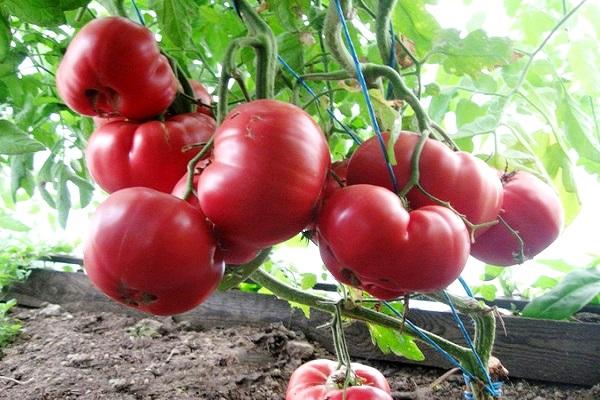 Лучшие сорта помидор для Подмосковья. Описание и отзывы сортов для теплицы и открытого грунта этап 26