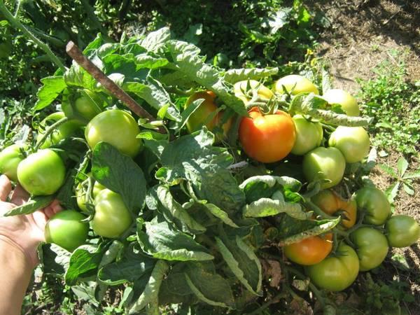 Лучшие сорта помидор для Подмосковья. Описание и отзывы сортов для теплицы и открытого грунта этап 11