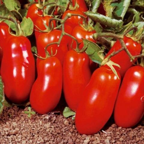Лучшие сорта помидор для Подмосковья. Описание и отзывы сортов для теплицы и открытого грунта этап 24