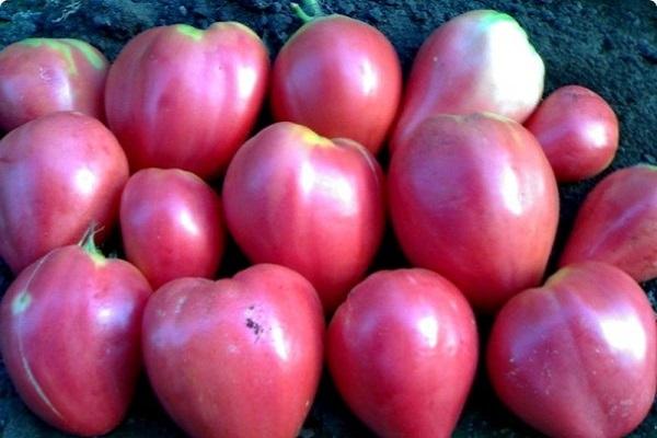 Лучшие сорта помидор для Подмосковья. Описание и отзывы сортов для теплицы и открытого грунта этап 27