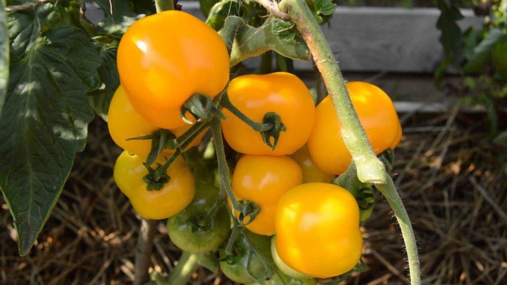 Лучшие сорта помидор для Подмосковья. Описание и отзывы сортов для теплицы и открытого грунта этап 21