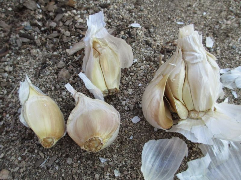 Когда сажать чеснок под зиму в 2019 году осенью? Посадка чеснока по лунному календарю этап 11