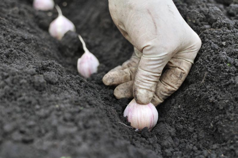 Когда сажать чеснок под зиму в 2020 году осенью? Посадка чеснока по лунному календарю