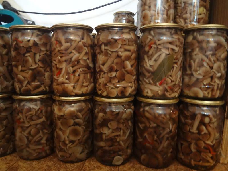 Опята маринованные на зиму в домашних условиях: 6 рецептов быстрого приготовления этап 6