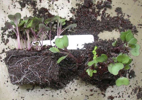 Когда и как сажать капусту на рассаду в 2019 году по Лунному календарю этап 7