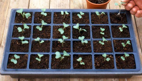 Когда и как сажать капусту на рассаду в 2019 году по Лунному календарю этап 6